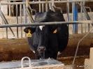 Vacas_2