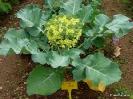 Brócoli_1