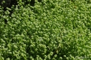 Canonigo verde de Cambrai