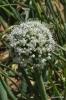 Cebollas con flor_7