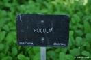 Rúcula o Rúgula_1