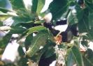 Oruga Verde del Almendro