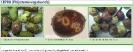 Olivos y aceitunas