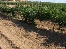 Viñas y Viñedos_1