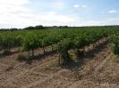 Viñas y Viñedos_2