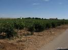 Viñas y Viñedos_4