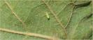 Mosquito verde 1