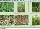 Helmintosporiosis rallada de la cebada - 2