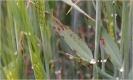 Helmintosporiosis reticular de la cebada - 1