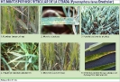 Helmintosporiosis reticular de la cebada - 2