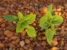 Girasol plantas primeros estadios