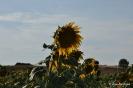 Girasoles con las flore