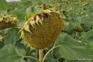 Girasoles sin flores liguladas