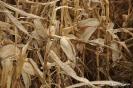 Maiz próximo a cosechar