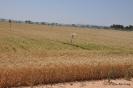 Trigo en campos de cultivo