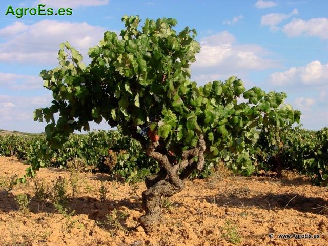 Daños de granizo en vid - Recomendaciones en viñedo después de un pedrisco