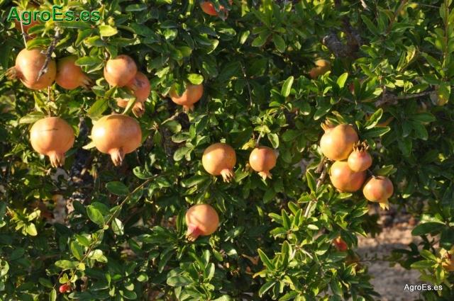 La Granada, composición, propiedades e indicaciones de esta excelente fruta