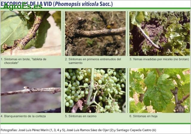 Excoriosis de la vid, Phomopsis viticola, descripción, síntomas y su Lucha y Control Fitosanitario