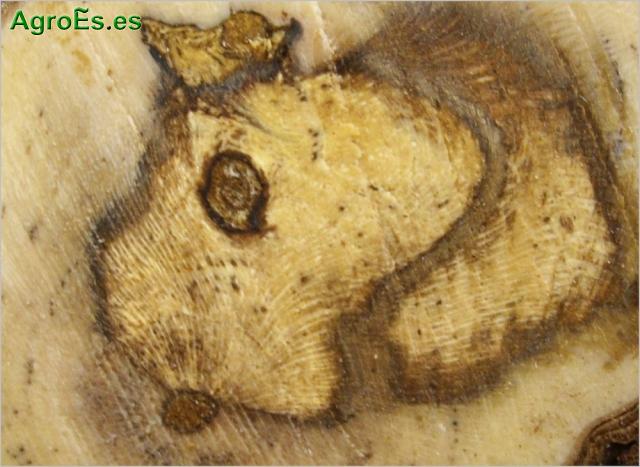 Complejo hongos de madera de vid