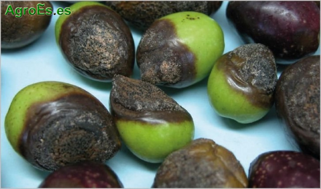 Antracnosis o Aceituna Jabonosa del Olivo, Colletotrichum spp.