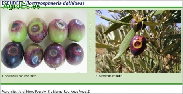 Escudete del Olivo, Bostryosphaeria dothidea