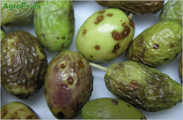 Lepra del Olivo producida por el hongo Phlyctema vagabunda