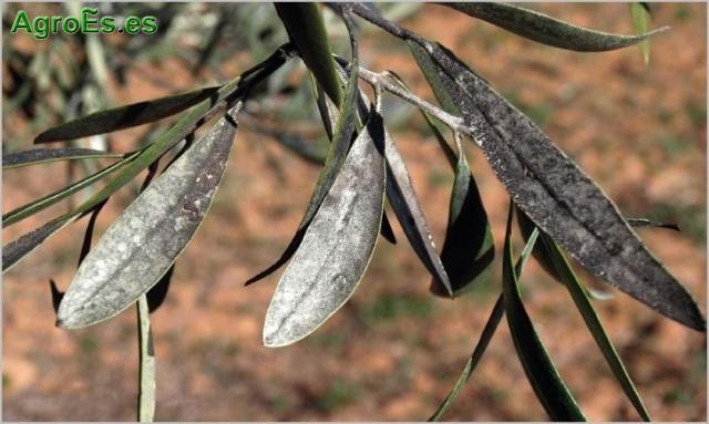Negrilla del Olivo, hongos Capnodium sp., Limacinula sp.