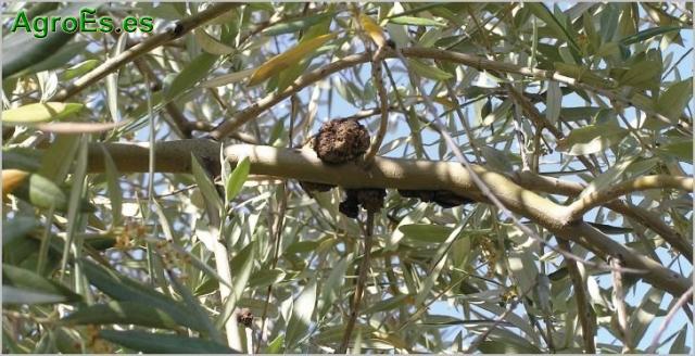 Tuberculosis del olivo, bacteria Pseudomonas savastanoi