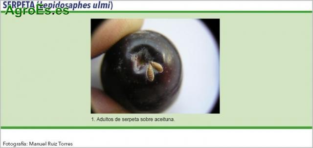 Serpeta del Olivo - Lepidosaphes ulmi