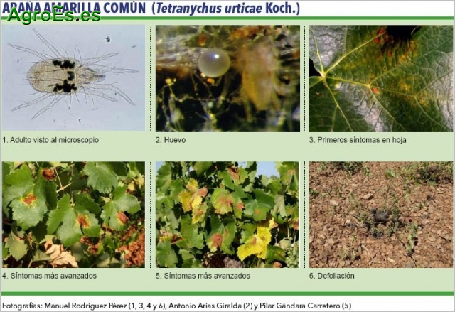 Araña amarilla común Tetranychus Urticae Koch