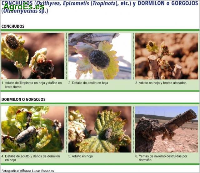 CONCHUDOS, Oxithyrea, Epicometis, Tropinota, etc.y DORMILON o GORGOJOS Othiorrynchus