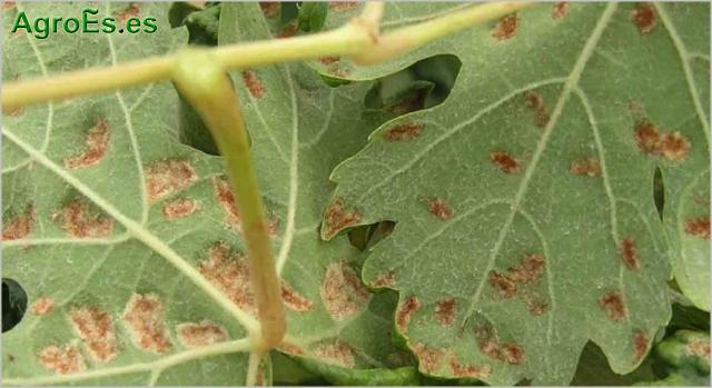 Erinosis de la Vid - Colomerus viti, Eriophyes vitis
