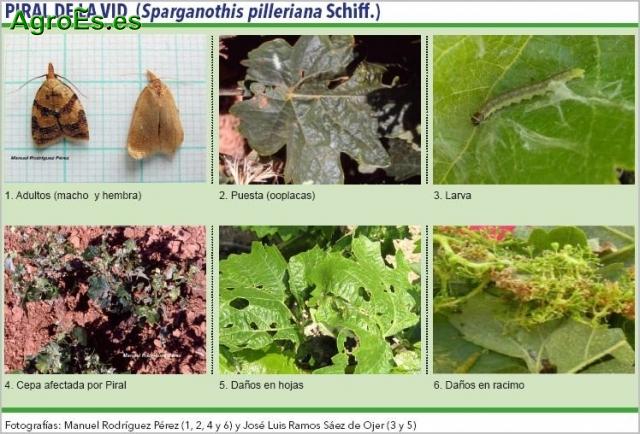 Piral de la Vid Síntomas y daños en viñedos