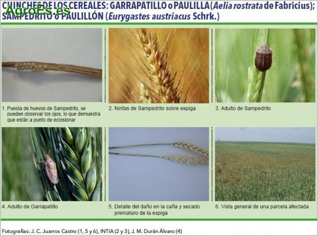 Chinches de los cereales, Garrapatillo o paulilla, Aelia rostrata y Sampedrito o paulillón, Eurygastes austriacus