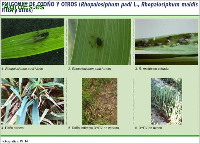 Pulgones de otoño y otros en cereales, Rhopalosiphum padi, maidis