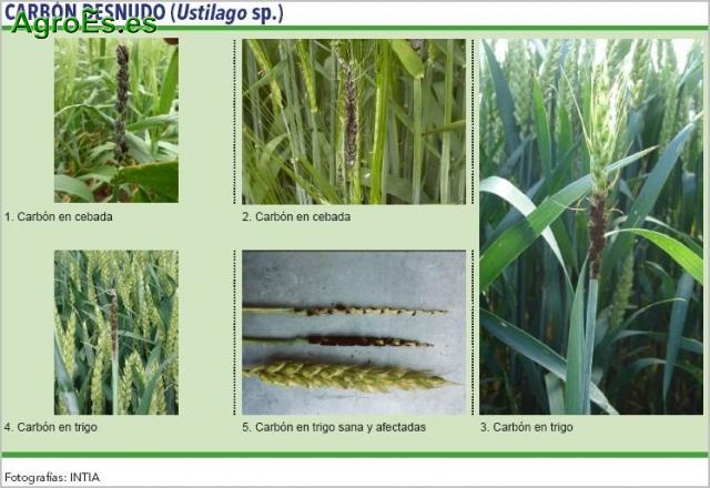 Carbón desnudo de cereales, Ustilago sp., descripción, daños y control integrado