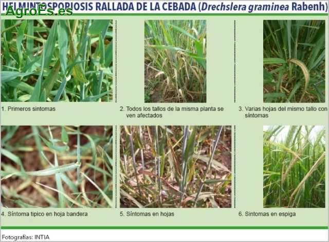 Helmintosporiosis rallada de la cebada, Drechslera gramínea, descripción, daños y control integrado