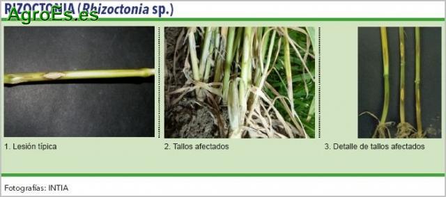 Rizoctonia de cereales, Rhizoctonia sp.
