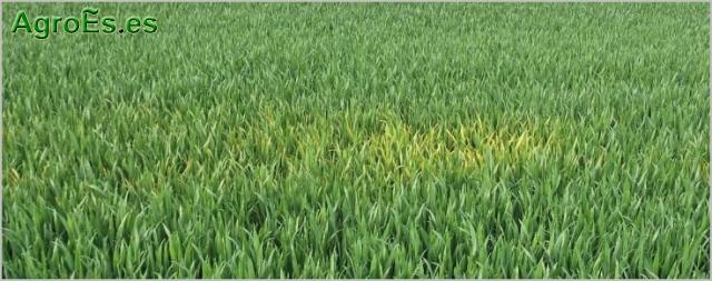 Roya amarilla de cereales, Puccinia striiformis