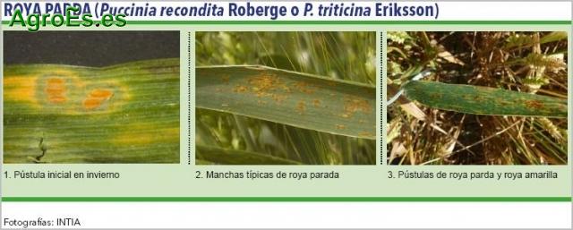 Roya parda de cereales, Puccinia triticina, P. recondita