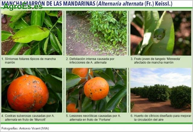 Mancha marrón de las mandarinas,Alternaria alternata