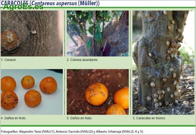 Caracoles y babosas en Cítricos, Catareus aspersus
