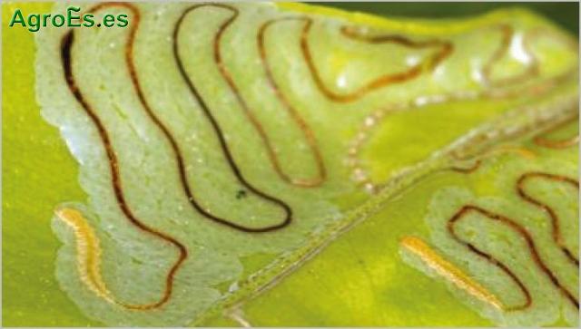 Minador de hojas de cítricos, Phyllocnistis citrella