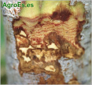 Mal de cuello de frutales Phythophthora