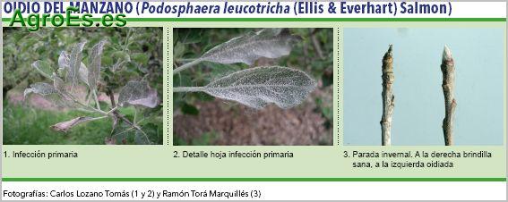 Oidio del manzano, Podosphaera leucotricha