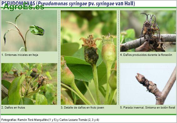 Las Pseudomonas en frutales de petita, Pseudomonas syringae