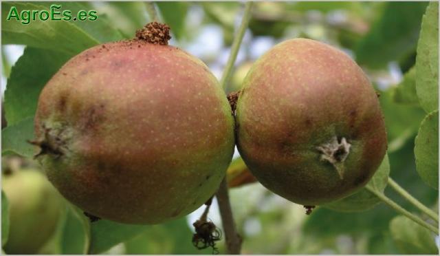 Carpocapsa en frutales de pepita, Cydia pomonella L