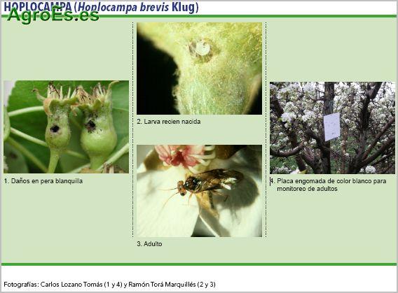 Hoplocampa de frutales de pepita, Hoplocampa brevis Klug