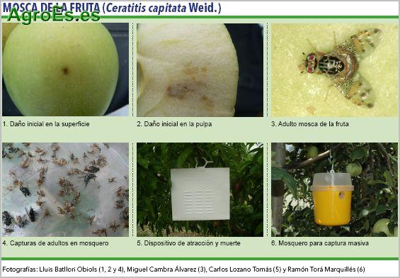 Mosca de la fruta, de frutales de pepita, Ceratitis capitata Weid