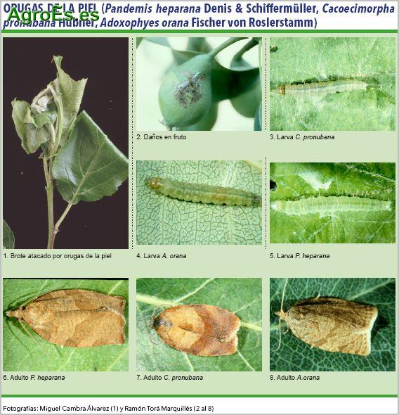 Orugas de la Piel en frutales de pepita, Pandemis heparana, Cacoecimorpha pronubana, Adoxophyes orana